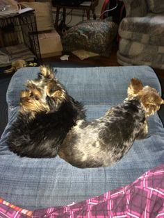My Yorkies DaisyBell on the left & Dozer on the right!