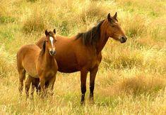 Kaimanawa Horses image