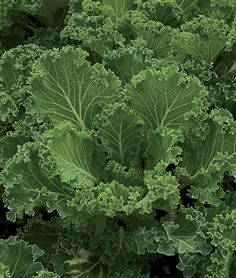 Fall Gardening: Kale 'Premier' has leaves up to a foot long. The plant is upright and compact -great for in-garden or container planting.