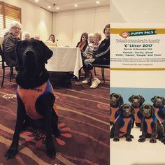 Currumbin RSL War Widows have sponsored a litter of guide dog puppies. What a wonderful thing to do! Here is a picture from today's presentation. #guidedogs #goldcoastgiving #goldcoast #goldcoastwomen #currumbin #currumbinrsl #dogs #instadog #dogsofinstagram #guidedogs #dogstagram #doggies