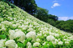 東京都あきる野市にある「サマーランド」の紫陽花の花畑が綺麗すぎる! この紫陽花はアナベルという北アメリカ東部原産の品種だそうですよ。 一面に広がる純白の世界は、絶景♪ 一度観に行ってみてくださいね(*^^*)
