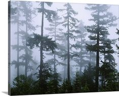 Silhouette of trees with fog in the forest, Douglas Fir, Hemlock Tree, Olympic Mountains, Olympic Na Lawn And Landscape, Forest Landscape, Landscape Design, Douglas Fir Tree, Roman Garden, Olympic Mountains, Lawn Sprinklers, Owl Pictures, Panoramic Images