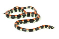 Scolecophis atrocinctus - This species is found from Costa Rica to Guatemala, she is also this effect in Honduras and Nicaragua. In captivity, it is unknown.