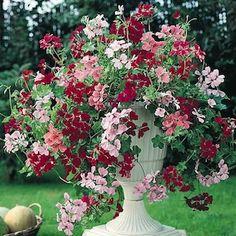 Summer Showers Mix ivy geranium seeds - Garden Seeds - Annual Flower Seeds