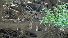 Jaguar, ein ausgezeichneter Schwimmer und Kletterer, auf der Suche nach Beute an einem Flussufer - seine unglaublich kräftigen Kiefer sind stark genug, um Schädel zu knacken.