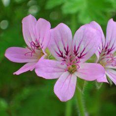 Geranium Essential Oil Organic Pure Therapeutic Undiluted