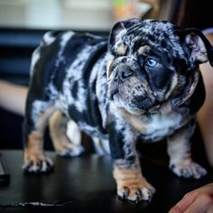 English Bulldog Puppies Available For Their New Homes. They comes with all paperwork, AKC Reg, got all shots, potty trained. We Do fast delivery Worldwide Super Cute Puppies, Cute Bulldogs, Bulldog Puppies For Sale, Cute Little Puppies, Baby Puppies, Dogs And Puppies, Baby Bulldogs, Corgi Puppies, Terrier Puppies