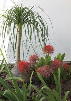 Revista Natureza | A bela adormecida do jardim - bulbosas, a coroa-da-imperatriz não precisa ser enterrada muito fundo.