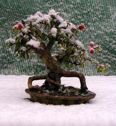 www.hirthbonsai.hu