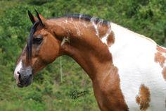 Campolina stallion Esteio da Hibipeba