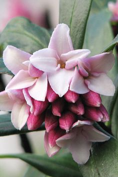 "Daphne odora: This stocky evergreen has wonderfully scented, pink flower clusters, and 'Aureomarginata' has leaves irregularly margined in off-white; alternatively, D. odora var. 'rubra' offers a deeper shade of pink. Even better for scent, though needing more shade and damp, is D. bholua (pictured); every twig bears a cluster of four-petalled flowers, white in the species, pink in 'Sir Peter Smithers'. Good for: growing in partial shade beneath ""backbone"" plants."