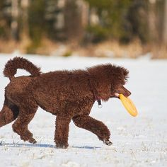 Bruno ja lempparilelu #koira #villakoira #frisbee #dog #dogsofinstagram #poodle #standardpoodles
