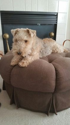Glamour shot of Mick the Lakeland terrier
