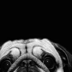 Pug sees YOU!  #pug