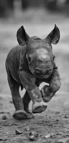 Cute Baby Animals: baby rhino running! Cute Baby Animals, Animals And Pets, Funny Animals, Beautiful Creatures, Animals Beautiful, Animals Amazing, Animal Original, Baby Rhino, Photo Animaliere