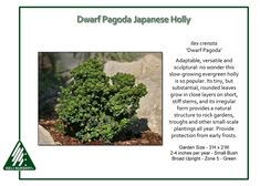 Dwarf Pagoda Japanese Holly Ilex crenata 'Dwarf Pagoda' is adaptable, versatile and sculptural: no wonder this slow-growing evergreen holly is so popular. Its tiny, but substantial, rounded leaves…