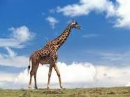 Giraffe - tallest  animal on the planet