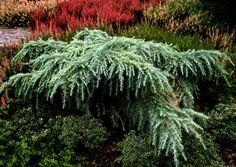 Cedrus deodara ' Feelin Blue ' Weeping Himalayan Cedar