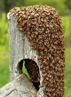 """Swarm of bees. by Manorama Devi. """"Swarming"""" is the process by which a new honey bee colony is formed when the queen bee leaves the colony with a large group of worker bees. In the prime swarm, about 60% of the worker bees leave the original hive location with the old queen."""