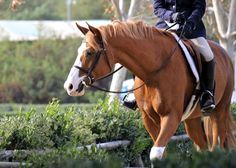 My idea of perfection: bright chestnut with a very wide blaze and flaxen mane & tail. Cute Horses, Pretty Horses, Horse Love, Andalusian Horse, Friesian Horse, Arabian Horses, Most Beautiful Animals, Beautiful Horses, Palomino