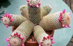 Succulent Bonsai, Succulent Gardening, Cacti And Succulents, Planting Succulents, Cactus E Suculentas, Cactus Planta, Rare Orchids, Low Light Plants, Desert Plants