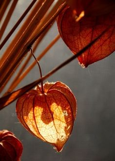 wow! magically lit chinese lantern flower