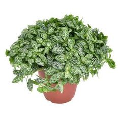 Fitonia Mont Blanc - roślinka do łazienki Small Potted Plants, Indoor Plants, Cafe Style, Flower Pots, Flowers, Green Goddess, African Print Fashion, Houseplants, Garden Plants