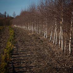Spring in Dubrovo nursery. Birches are still without leaves. Берёзы, начинаем пересадку. #питомник #дуброво #деревья #ландшафтныйдизайн #березы #ранняявесна #betula #betulapendula Plant Nursery, Vineyard, Plants, Outdoor, Outdoors, Vivarium, Vine Yard, Vineyard Vines, Plant