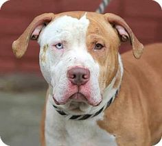 Ridgewood, NY - American Pit Bull Terrier Mix. Meet Big Vizel a Dog for Adoption.
