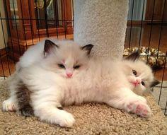 Ragdoll Kittens …