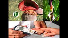 Esta flor cura diabetes enfermedades cardíacas cáncer y también baja de peso INCREÍBLE!!