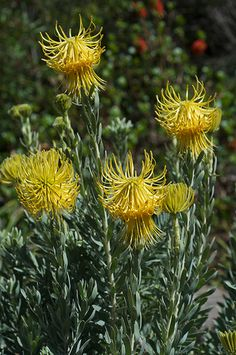 Leucospermum reflexum- available in limited supply in August. A lovely lemon green flower with a softly textured foliage. August Flowers, Australian Native Flowers, Gift Bouquet, Green Flowers, Wedding Flowers, Lemon, Plants, Garden, Plant