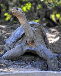 Lonesome George, the last known individual of the Pinta Island Tortoise, subspecies Geochelone nigra abingdoni, is pictured at Galapagos National Park's breeding center in Puerto Ayora, Santa Cruz island, Galapagos on March 18, 2009. Lonesome George died on June 24, 2012 at the age of 100 aproximately, making the Pinta Island Tortoise extict.  AFP PHOTO/Rodrigo BUENDIARODRIGO BUENDIA/AFP/GettyImages