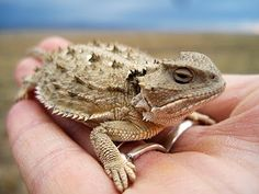 A horny toad