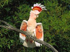 Inca kaketoe