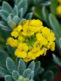 """Alyssum 'Golden Spring' As spring finally arrives, the bright yellow flowers of 'Golden Spring' burst into bloom. This easy-care creeping perennial makes a great groundcover or dry rock garden plant. It's resistant to heat and drought, and holds its green foliage all year. Conditions: full sun Size: 6-8""""tall, 12"""" wide Zones: 4-9"""