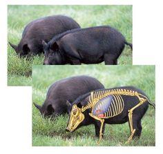 Wild Hog Hunting Targets – Package of (5) Broadside View