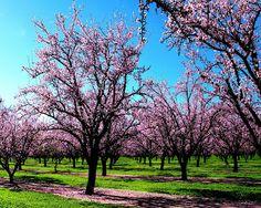 Filas de Almendros en floración.