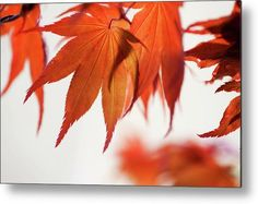 Red Maple Leaves Abstract 21 Metal Print by Jenny Rainbow Art Prints For Home, Fine Art Prints, Maple Leaves, Got Print, Any Images, Art Techniques, Fine Art Photography, Red Color, Fine Art America