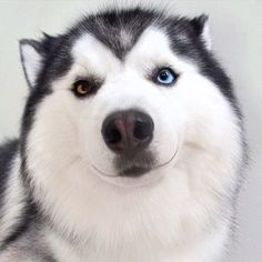 This Smiling Siberian Husky Will Put An End To All Your Woes
