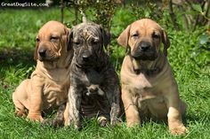 Fila Brasileiro, puppy, gold and brindle - the best dog I ever had and wish I could have another