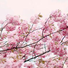 Cherry blossoms, via Flickr. #pink #spring