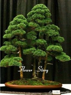 office bonsai tree. Contemporary Bonsai Cheap Juniper Bonsai Buy Quality Bonsai Tree Seeds Directly From  China Suppliers 20 Seeds Potted Flowers  With Office Bonsai Tree G