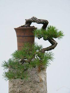 Cascade bonsai.