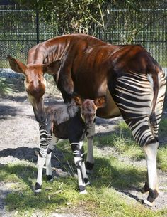 A new rare okapi was born in Animal Kingdom.
