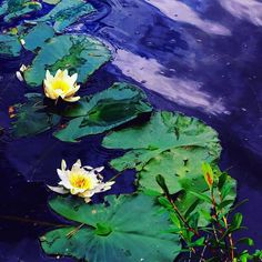 Deep blooming #flowers#nature#transformation#rebirth#blooming#lotus#water#serenity#beauty#femininity#art#consciousness#spirituality#intuition#intuitive#activator#cosmos#frequency#vibration#depth#soul#