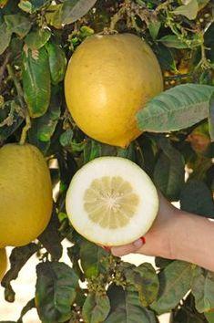 Odorata citron, Citrus medica 'Odorata'