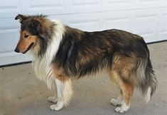 Old Time Scotch Collie - Mountain Wave Barley