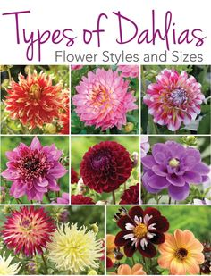 Know Your Dahlias: Flower Styles and Sizes - Longfield Gardens - - Learning to identify the various dahlia types makes it easier to recognize the different varieties and figure out which ones you find most appealing. Beautiful Flowers, Dahlia Flower, Plants, Flowers, Types Of Flowers, Dahlias Garden, Flower Garden, Flower Farm, Longfield Gardens