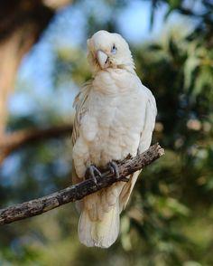 Cute Corella Is Still A Baby by Tomislav Vucic on World Best Photographer, Best Photographers, Original Image, Be Still, Parrot, Owl, Bird, Art Art, Cute